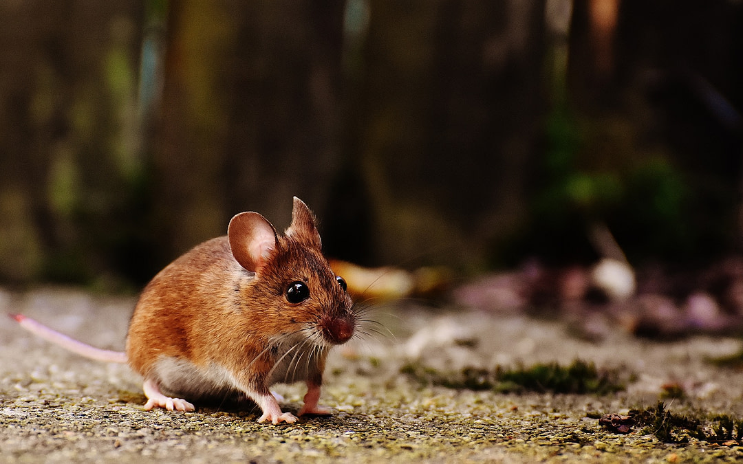 11 Tips for Getting Rid of and Avoiding Mice in Your RV