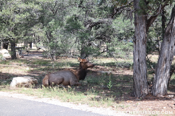 Elk roaming around Grand Canyon South Rim