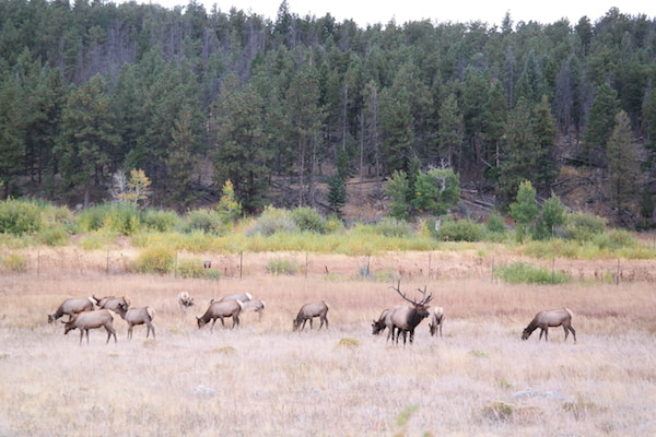 Rocky Mountain National Park - Elk herd