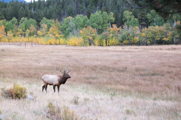 Rocky Mountain National Park - Elk