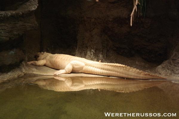 Audobon Zoo White Alligator
