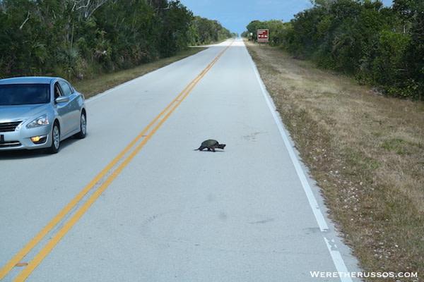 Everglades National Park turtle