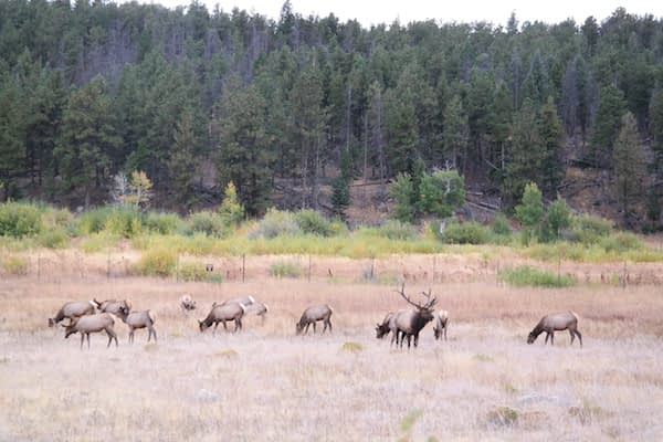 Rocky Mountain National Park - Elk herd