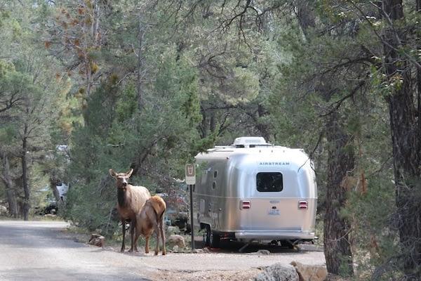Elk roaming around Mather Campground