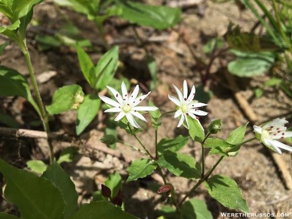 Great Smoky Mountain wildflowers
