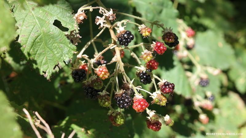 Cape Lookout State Park Wild Blackberries
